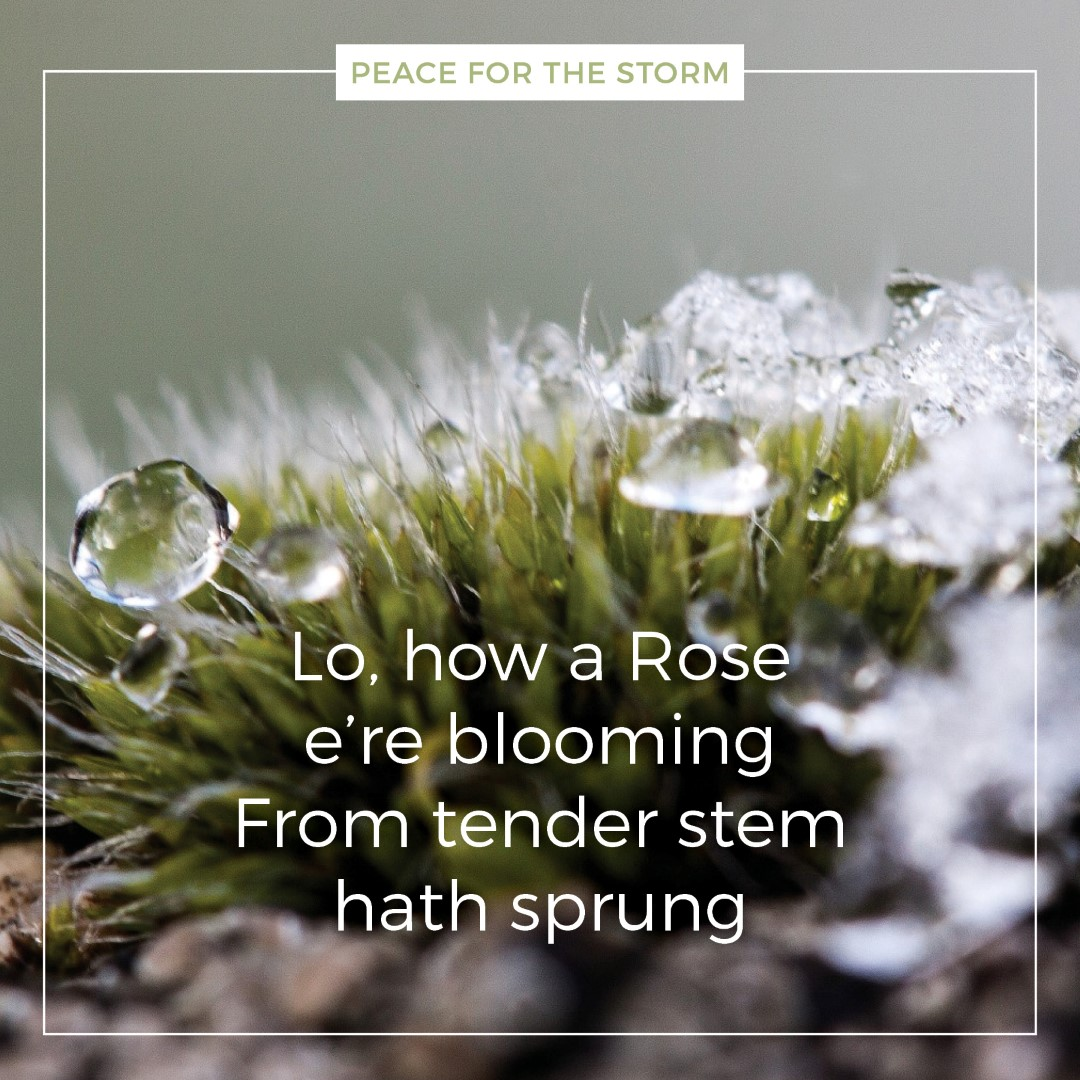 peace-for-the-storm-quotes-lo-how-a-rose-ere-blooming